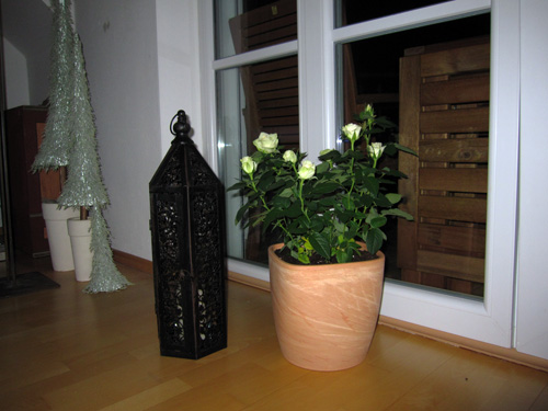Min nye rose